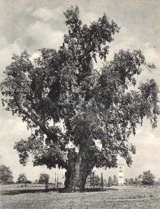Balatonakarattya Rákóczi fa